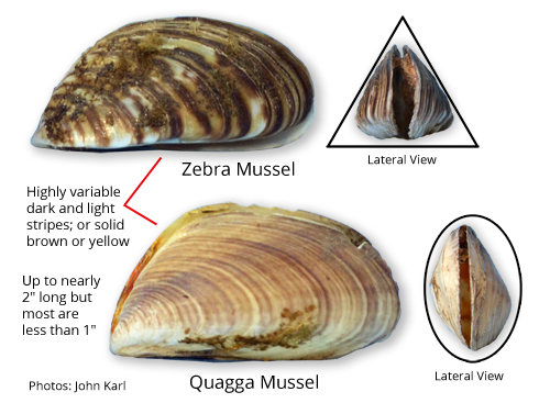 a description of the invasion of the zebra mussels That zebra mussels have a severe impact on their invaded environment  plan, the following is a brief description of a few successful methods for minimizing.