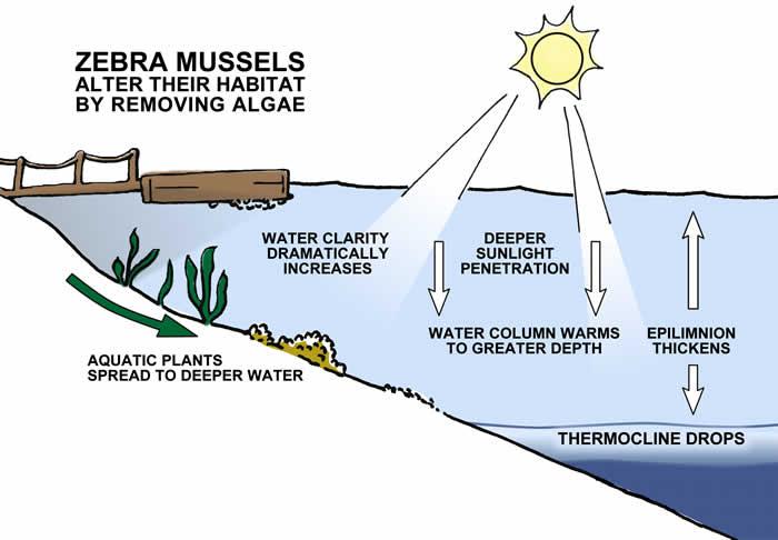 Zebra Mussels Altering Habitat